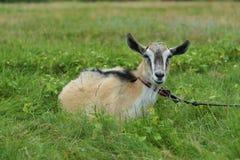 布朗吃草在皮带的一个草甸的山羊特写镜头 库存图片