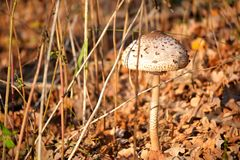 布朗和白木耳在叶子中的地面上增长 库存图片