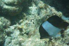 布朗和白的蝴蝶鱼Hemitaurichthys带状疹子 免版税库存图片