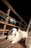布朗和白羊睡眠 免版税库存图片