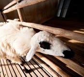 布朗和白羊睡眠 库存照片
