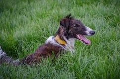 布朗和白色俄国猎狼犬在草在VII 免版税库存照片