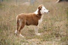 布朗和白色大牧羊犬狗 免版税库存图片
