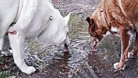 布朗和白色夫妇狗 免版税库存图片