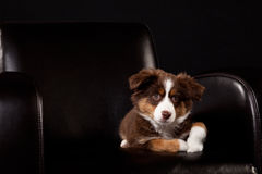 布朗和白色小狗在一把黑椅子 库存图片
