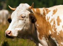 布朗和白色母牛与垫铁 库存图片