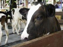 布朗和白色母牛在农场 免版税库存照片