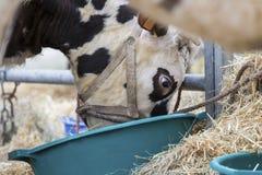 布朗和白色母牛,种族Normande,法国 库存图片