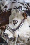 布朗和白色母牛,种族Normande,法国 图库摄影