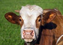 布朗和白色母牛画象 免版税库存图片