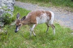 布朗和白色母鹿 免版税库存图片
