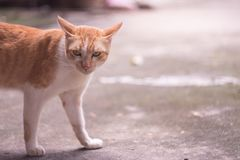布朗和白色猫与恼怒的眼睛半身体关闭 免版税图库摄影
