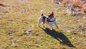 布朗和白色罗素起重器小狗 库存图片