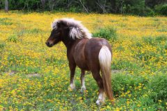 布朗和白色舍特兰群岛小马在野花 免版税库存照片