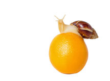 布朗和白色被结合的蜗牛用桔子 免版税库存照片