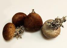 布朗和白色马勃菌蘑菇在白色背景 免版税库存照片