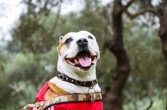 布朗和白色pitbull混合,躺下和微笑在公园的狗 库存照片