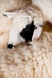 布朗和白色sheeplying 库存照片