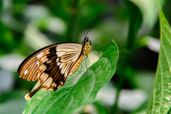 布朗和白色swallowtail蝴蝶 库存图片