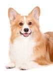 布朗和空白小狗 免版税图库摄影