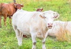 布朗和空白母牛在牧场地 库存图片