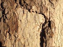 布朗和米黄树皮纹理 免版税库存照片