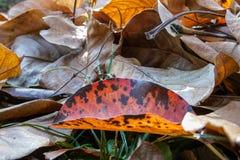 布朗和红色秋天叶子在草 库存图片
