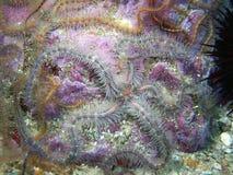 布朗和蓝色多刺的海蛇尾 免版税库存图片