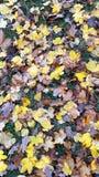 布朗和黄色秋叶 免版税库存图片