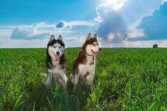 布朗和黑色西伯利亚爱斯基摩人夫妇在象草的绿色领域反对蓝天与云彩 免版税库存图片