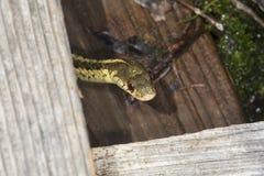 布朗和黄色花纹蛇在新罕布什尔沼泽 免版税库存图片