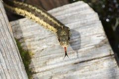 布朗和黄色花纹蛇在新罕布什尔沼泽 库存照片