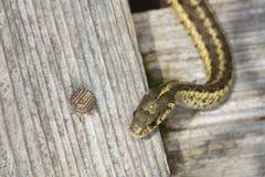 布朗和黄色花纹蛇在新罕布什尔沼泽 库存图片