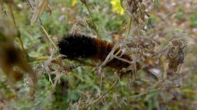 布朗和b橙色毛茸的毛虫 库存照片