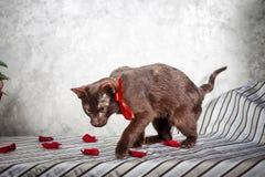 布朗哈瓦那暹罗猫 免版税库存图片