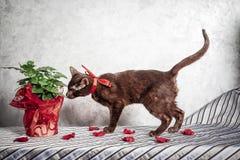 布朗哈瓦那暹罗猫 库存照片