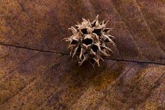 布朗在一片干燥叶子的荚胶囊作为秋天背景 库存照片