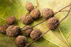 布朗在一片干燥叶子的荚胶囊作为秋天背景 免版税库存图片