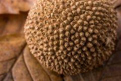 布朗在一片干燥叶子的荚胶囊作为秋天背景 免版税库存照片