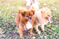 布朗在公园,与所有者的服从的宠物尾随走 库存图片