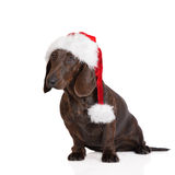 布朗在圣诞老人帽子的达克斯猎犬狗 免版税库存照片