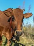 布朗在天空蔚蓝的母牛特写 免版税库存照片