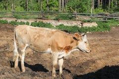 布朗在村庄察觉了母牛步行靠近篱芭-俄国乡下 免版税库存图片