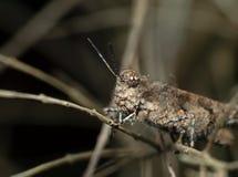 布朗在枝杈的蚂蚱伪装宏观照片  库存照片