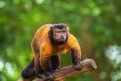 布朗在树中的连斗帽女大衣猴子 免版税库存图片