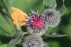 布朗翅上有细纹的蝶蝴蝶 图库摄影