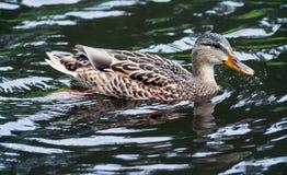 布朗在水的鸭子游泳 免版税库存图片