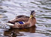 布朗在水的鸭子游泳 免版税库存照片