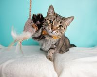 布朗在演播室和佩带蝶形领结的虎斑猫画象 库存图片