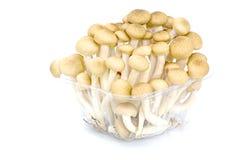 布朗在白色的山毛榉蘑菇 免版税库存照片